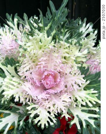 花キャベツ ハボタン 葉ぼたん かっこいいの写真素材 Pixta