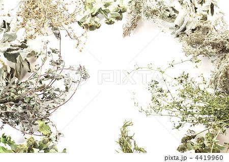花 ドライフラワー ペニーロイヤルミント ミントの写真素材 Pixta