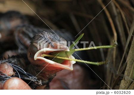 ヒヨドリ雛バッタを食す