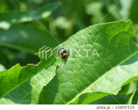 蓼食う虫の写真素材 - PIXTA