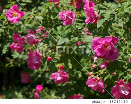 花 バラ 薔薇 ウィリアム・バフ...