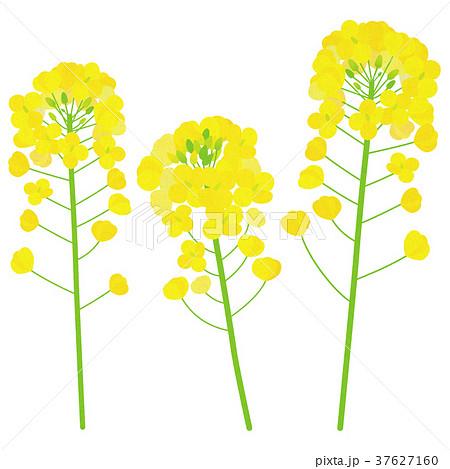 菜の花のイラスト素材集 Pixtaピクスタ