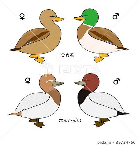 マガモ カモ目 水辺の鳥 冬鳥の...