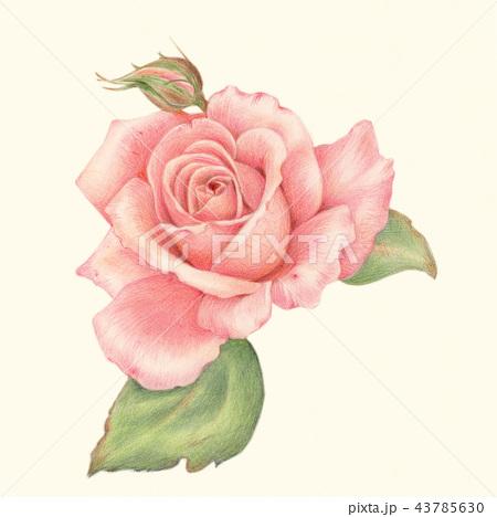 花 色鉛筆画 色鉛筆 リアルイラストのイラスト素材 Pixta