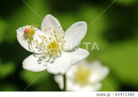 花蜘蛛の写真素材 - PIXTA